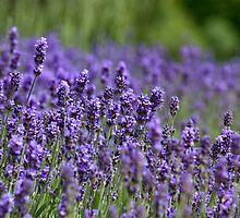 Lavender field by Balint Takacs