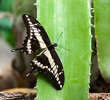 Giant Swallowtail (Papilio cresphontes) by Balint Takacs