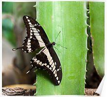 Giant Swallowtail (Papilio cresphontes) Poster