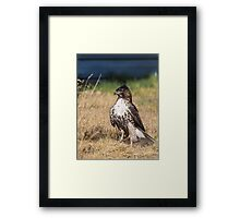 Red-tailed Hawk: One Big Meal Framed Print