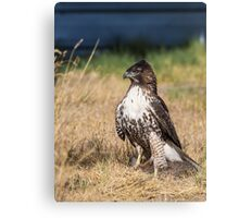 Red-tailed Hawk: One Big Meal Canvas Print