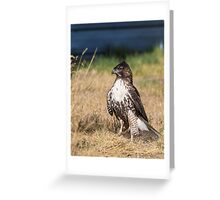 Red-tailed Hawk: One Big Meal Greeting Card