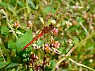 Dragonfly - Needham's Skimmer - Libellula needhami by MotherNature