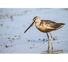 Long-billed Dowitcher: Muddy Waters Photographic Print