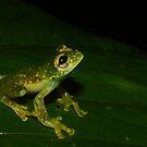 Golden Flecked Glass Frog by Seth LaGrange
