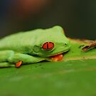 Red-Eyed Tree Frog by Seth LaGrange