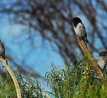 Hooded Robins -  Best Viewed Large by Leslie-Ann