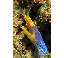 Blue Ribbon Eel Photographic Print