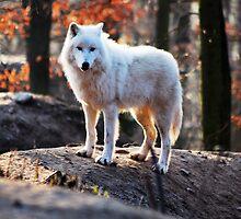 woolf by EFSTATHIOS KATOPODIS
