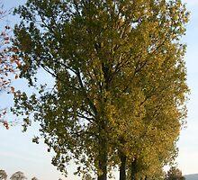 Avenue of Poplars 2 by Stefanie Köppler