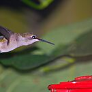 Hungry Little Hummingbird by Grinch/R. Pross