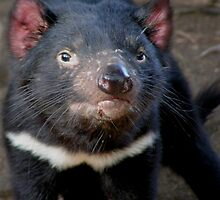 Tasmanian Devil by dangerouslyclos