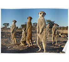 Meerkat morning Poster