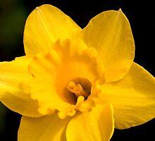 Sunny Daffodil by Gene Walls