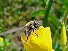 Bee Mimic on Primrose by MotherNature