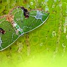 Geometer moth from Thailand by jimmy hoffman