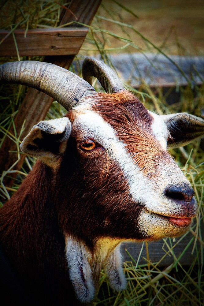 A Goat Named Bill by Nazareth
