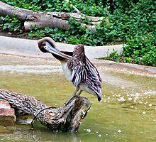 Pelican by Kristen O'Brian