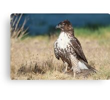 Red-tailed Hawk: A Successful Hunt Canvas Print