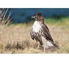 Red-tailed Hawk: A Successful Hunt Photographic Print