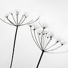 Cow-Parsley lines by Tim Haynes