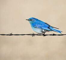 Mountain Bluebird: The B in RGB by John Williams