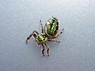 Jumping Spider - Green Salticidae by MotherNature