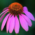 Coneflower Delight by Debbie Oppermann