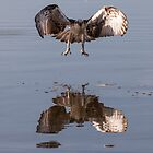 Osprey in flight by Ron Finkel