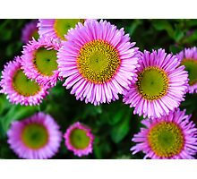 Pink Daisies Photographic Print