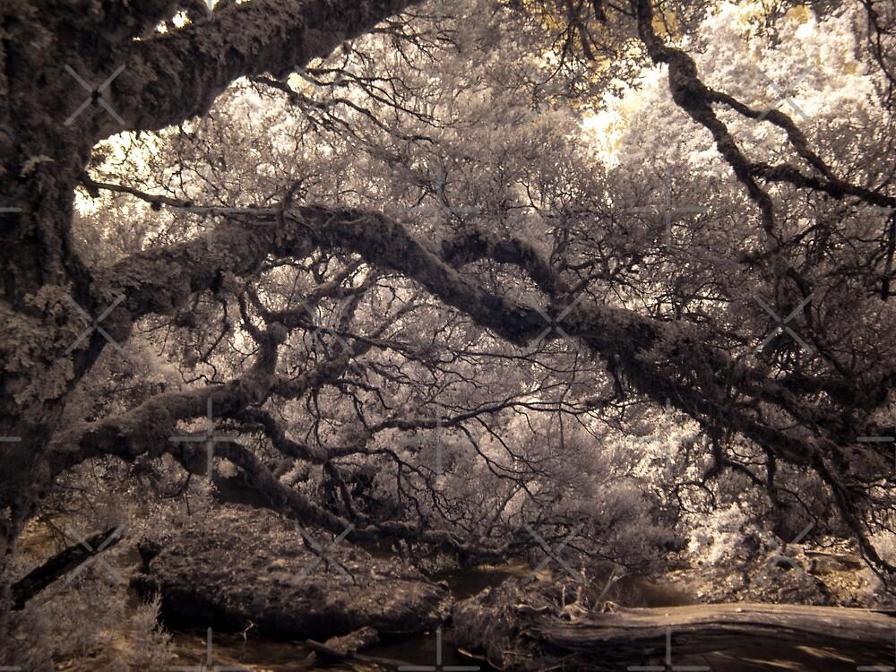 Pencil Pine Walk by Mel Brackstone