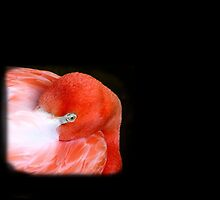 Flamingo at Fort Worth Zoo, Texas, USA by aprilann