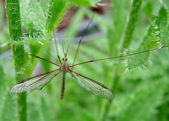 Crane Fly : Daddy LongLegs by AnnDixon