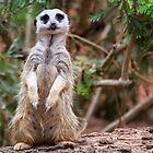 Meerkat Yo! Wassup? by Michael Clarke