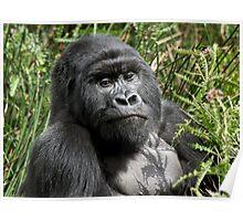 Wild Mountain Gorilla Poster