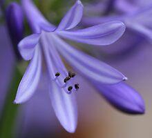 spring splendour by Iris MacKenzie