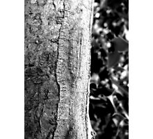 Holly and bark Photographic Print