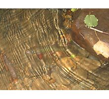 Underwater Brook Trout Photographic Print