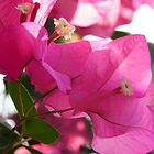 Bougainvillea by Morag Anderson