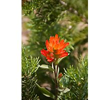 Indian Paintbrush nestled in pine boughs Photographic Print
