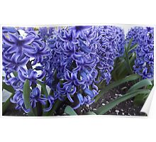 Aromatic Brilliant Blue Hyacinth               Poster