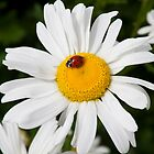 Cute Ladybug on white daisy flower by Brian D. Campbell