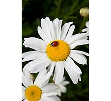 Cute Ladybug on white daisy flower Photographic Print