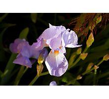 Soft delicate pale purple Iris flower Photographic Print