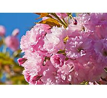 Beautiful pink cherry blossoms Photographic Print