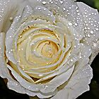 A white Rose. by Dipali S