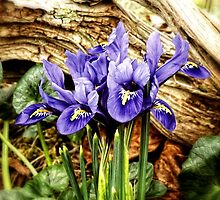 Dutch Iris by Sharon Woerner