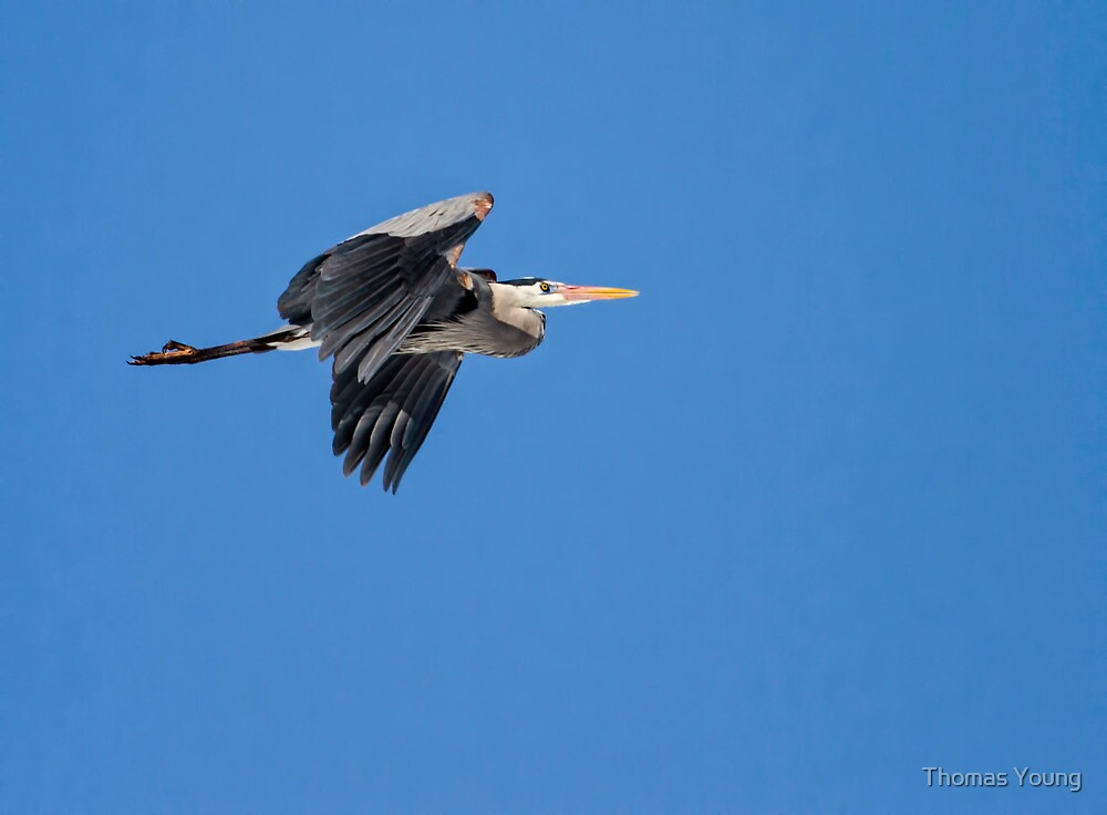 Great Blue Heron in Flight by Thomas Young