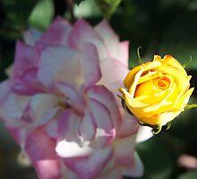 Chameleon Rose by semlens