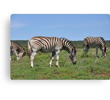 Zebra - South Africa Canvas Print